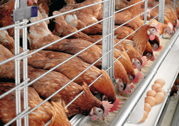 Poultry News